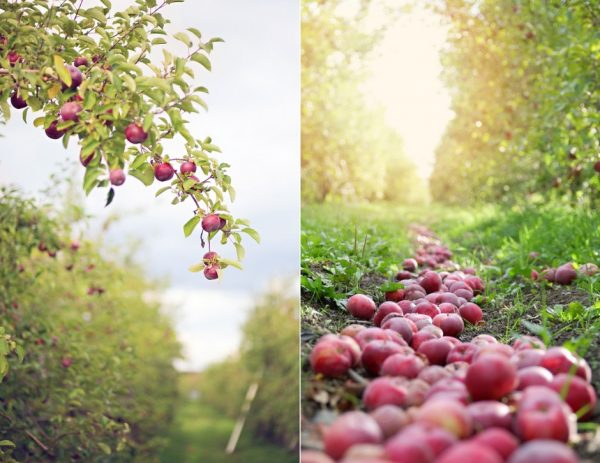 Huerta de manzanas en Quebec, Canadá